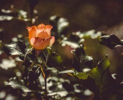 バラ 活力剤 使い方