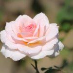 バラの水枯れが起きる理由や復活方法について