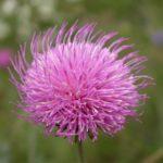 アザミの英語の花言葉の意味とは?