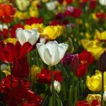 チューリップの花束の販売価格はいくら?花束の意味は?
