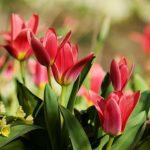 品種別のチューリップの花言葉について