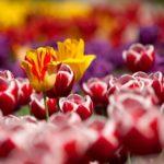 チューリップが終わった後の花壇に植えていいものは!?