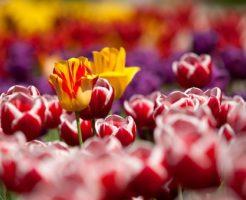 チューリップ 後 花壇
