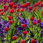 チューリップの花束を長持ちさせる保存方法とは⁉︎