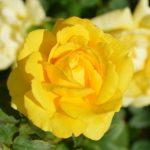 5月にやるべきバラの花のお手入れについて