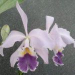 カトレア ラビアタ セルレアは何色の花?特徴は?