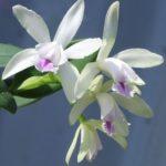 カトレア インターメディア アルバは何色の花?特徴は?