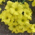 カタバミの花の大きさや花びらの枚数など特徴を大公開