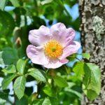 アネモネの八重咲き品種の育て方とは!?