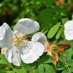 アネモネの上手な押し花の作り方やコツを教えます!