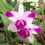 カトレア インターメディア オルラータは何色の花?特徴は?