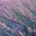 ラベンダーの花が咲かない原因や対策方法について