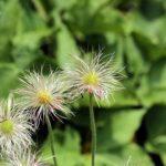 冬咲き系クレマチスの育て方や剪定方法について