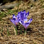 クロッカスの花言葉の意味を色別に紹介!