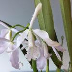 カトレア マキシマ セルレアは何色の花?特徴は?