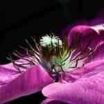 クレマチスの花の開花の時期はいつ頃!?