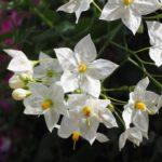 クチナシの花びらが変色する原因とは!?