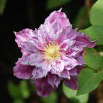 クレマチスの寄せ植えに相性のいい花は何!?