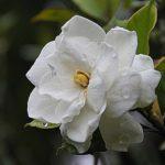 クチナシの花の特徴!大きさや形について