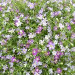 かすみ草の種まきの方法や時期について