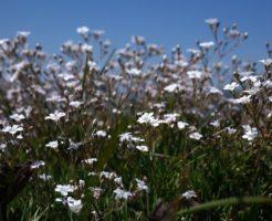 かすみ草 鉢植え 栽培