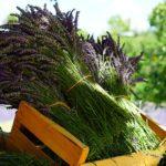 四季咲き性のラベンダーの育て方や剪定の方法について