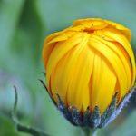 キンセンカの花の英語での読み方や発音、スペル(つづり)は?
