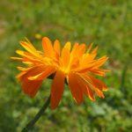 キンセンカは切り花から栽培できるの?失敗しないコツとは?