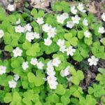 オギサリスの葉が変色している?原因と対処方は?