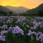 知立市の観光名所 無量寿寺のカキツバタの開花時期や見頃は?