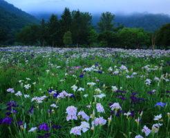 小堤西池 カキツバタ 開花