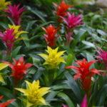 グズマニアの花が咲かない?原因と対処方法とは?