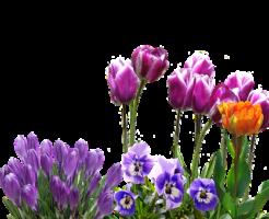 クロッカス 育て方 花壇