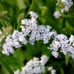 カスミソウの花言葉の英語や由来、誕生花について