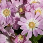 シネラリア セネシオは何色の花?特徴は?