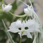 サギソウの花の構造や大きさ、花びらの枚数など特徴は?