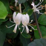 スイカズラの開花時期はいつ頃?見頃の季節は?