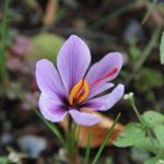 サフランの開花時期はいつ頃の季節?