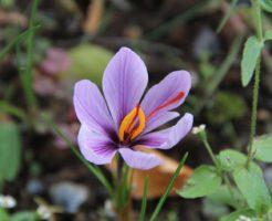 サフラン 開花時期