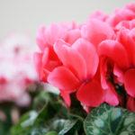 シクラメンの花がおわった後の手入れ方法は!?