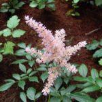 アスチルベの花の英語での読み方や発音、つづり(スペル)は?