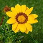 ガザニアの寄せ植えに相性が良いおすすめな植物とは?