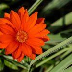 白色の花のガザニアの品種とは?どんな種類がある?