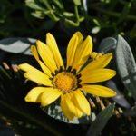 ガザニアの花が咲かない?原因や対処方法とは?