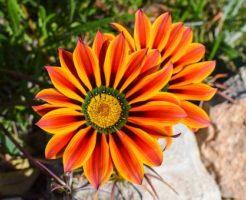ガザニア 花 閉じる