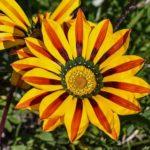ガザニア・カナリアスマイルの花言葉の意味や由来とは?