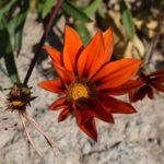 ガザニアの花言葉の意味や由来とは?