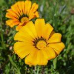ガザニアの花言葉は色で意味が変わるの?どんな種類があるの?