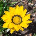 白色のガザニアの花言葉の意味や由来とは?