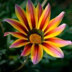 ガザニアの開花時期はいつ頃?見ごろの季節とは?